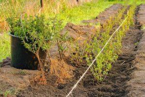 Portugese laurier planten in de grond zetten